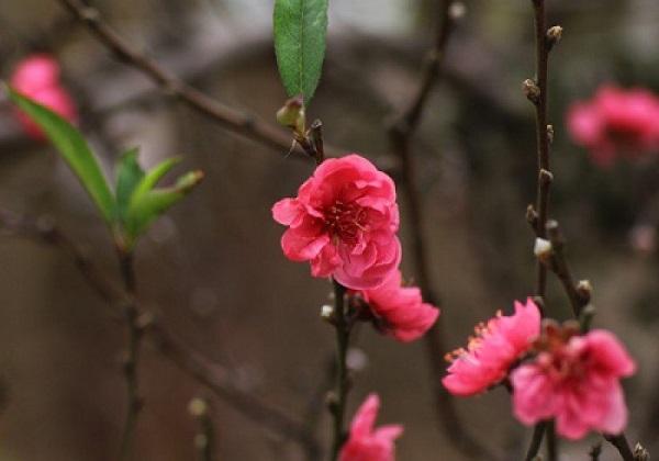 Các loại hoa đào tết hot - đào bích
