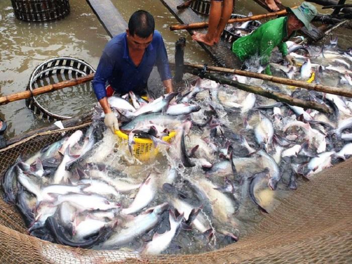 kỹ thuật nuôi cá basa
